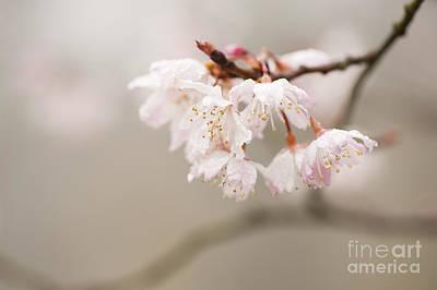 Prunus Hirtipes Poster by Anne Gilbert