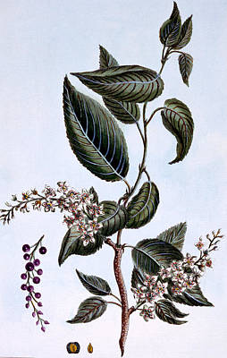 Prunus Padus Or Bird Cherry Poster by Pierre Joseph Buchoz