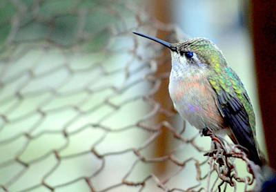 Pudgy The Humming Bird Poster by Phillip Hartman