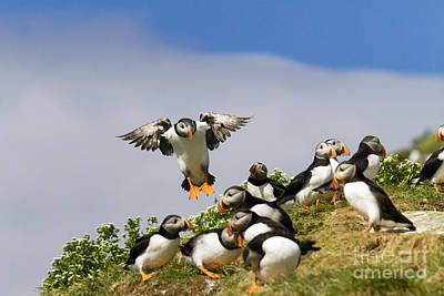 Puffin Colony On Bird Island Hornoya Poster by Heiko Koehrer-Wagner