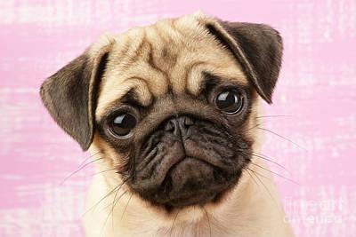 Pug Portrait Poster by Greg Cuddiford