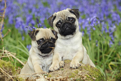 Pug Puppies In Bluebells Poster by John Daniels