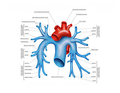Pulmonary Arteries Poster by Asklepios Medical Atlas