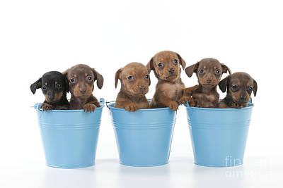 Puppies In Buckets Poster by John Daniels