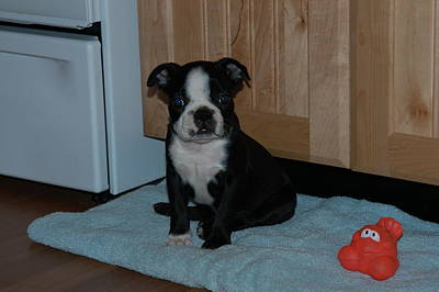 Puppy Boston Terrier And Toy Poster