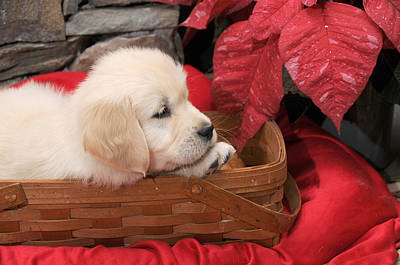 Poster featuring the photograph Puppy In A Basket by Paul Miller