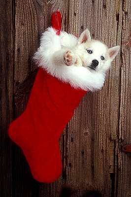 Puppy In Christmas Stocking Poster by Garry Gay