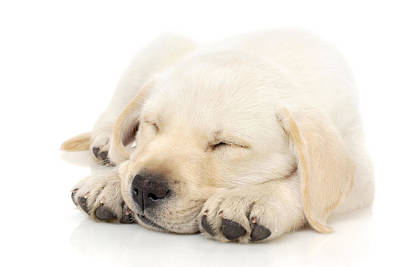 Puppy Sleeping On Paws Poster