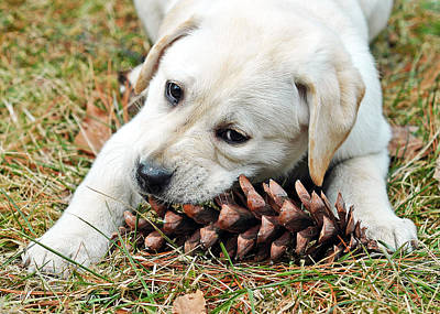 Puppy With Pine Cone Poster by Lisa Phillips