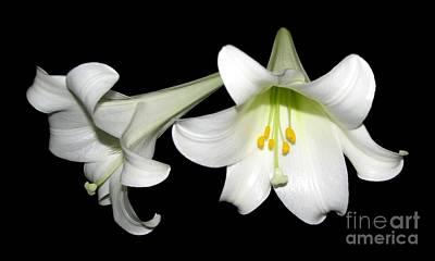 Pure White Easter Lilies Poster by Rose Santuci-Sofranko