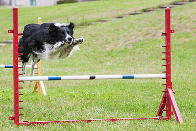 Purebred Border Collie Jumping Agility Poster