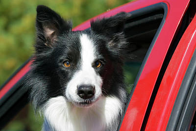 Purebred Border Collie Looking Out Red Poster by Piperanne Worcester