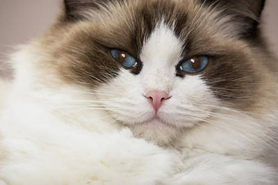 Purebred Rag Doll Cat, Blue Point Poster
