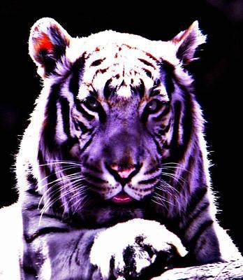 Purle Tiger Poster by Amanda Eberly-Kudamik