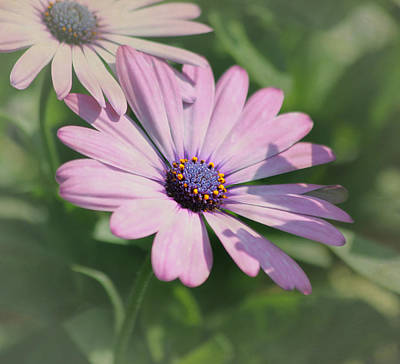 Purple African Daisy Poster by Kim Hojnacki