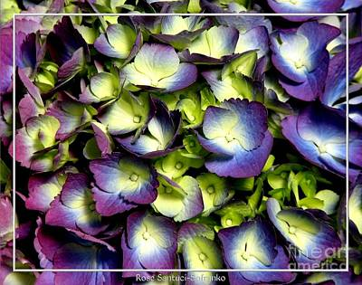 Purple And Ivory Hydrangeas Poster