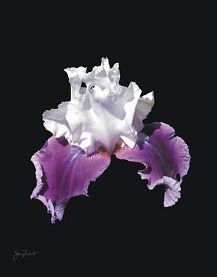 Purple And White Bearded Iris Poster