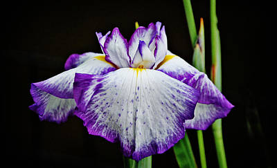 Poster featuring the photograph Purple And White Iris by Linda Brown
