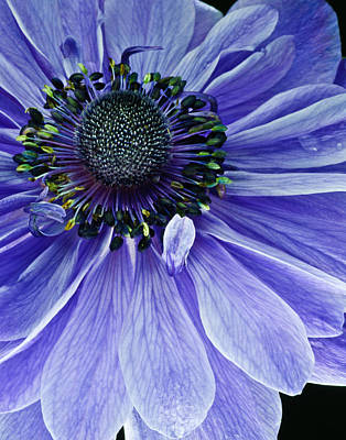 Poster featuring the photograph Purple Anemone by Art Barker