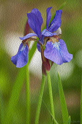 Poster featuring the photograph Purple Bearded Iris Oil by Brenda Jacobs