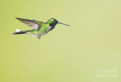 Poster featuring the photograph Purple-bibbed White-tip Hummingbird by Dan Suzio