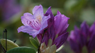 Purple Bloom Poster