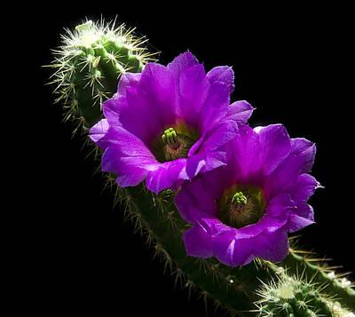 Purple Cactus Flowers  Poster