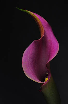 Purple Calla Lily Poster by Catherine Lau