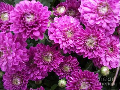 Purple Chrysanthemums Print Poster