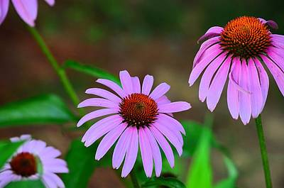 Purple Coneflower - Echinacea Poster