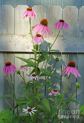 Purple Coneflower Poster by Steve Augustin