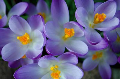 Purple Crocus Gems Poster