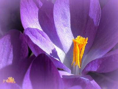 Purple Crocuses Before Spring Poster