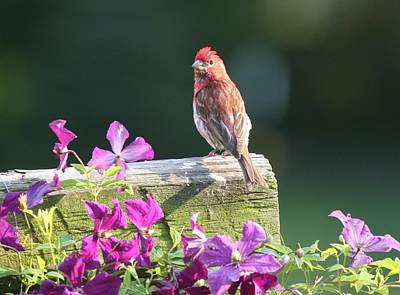 Purple Finch By Clematis Poster by Lucinda VanVleck
