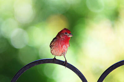 Poster featuring the photograph Purple Finch by Trina  Ansel