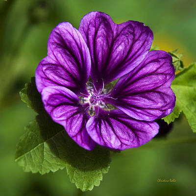 Purple Flower Hollyhock Poster by Christina Rollo