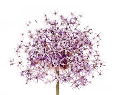 Purple Flowering Onion Poster by Elena Elisseeva