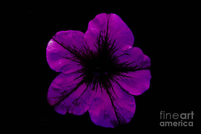 Poster featuring the photograph Purple Geranium by Scott Lyons