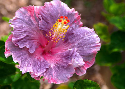 Purple Hibiscus Poster by Brian Harig