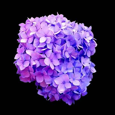'purple Hydrangea Bloom'  Poster