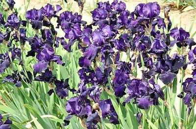 Purple Iris Poster by Diane Lent