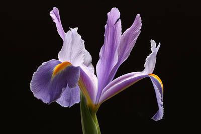 Purple Iris Poster by Juergen Roth
