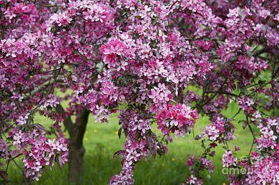 Purple Leaved Crab Apple Tree Blossom Poster by Tim Gainey