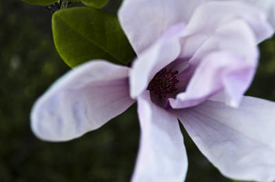 Purple Lily Magnolia Bloom Poster