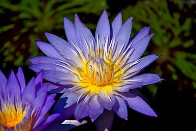Purple Lotus Close Up Poster
