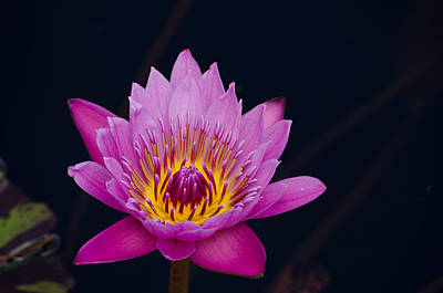Purple Lotus Flower Poster