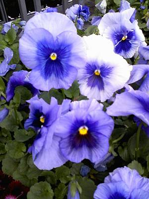 Poster featuring the photograph Purple Morning Glory by Fortunate Findings Shirley Dickerson