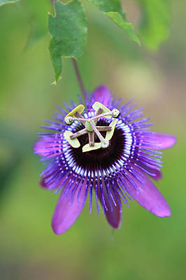 Purple Passionflower Poster by Alex Galiano