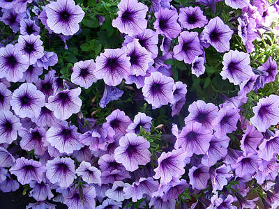 Purple Petunias Poster by Aimee L Maher Photography and Art Visit ALMGallerydotcom