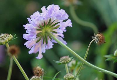 Purple Pincushion Flower Poster